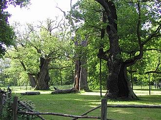 Lech, Czech, and Rus - Lech, Czech, and Rus oaks in Rogalin, Poland