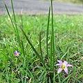 Romulea rosea plant2 (15119076197).jpg