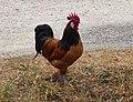Rooster in Eggi.jpg
