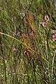 Roridula gorgonias Rebelo 3.jpg
