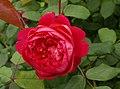 Rosa 'Benjamin Britten' David Austin 2001 01.jpg