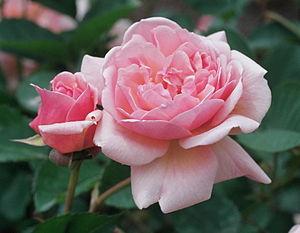 Joseph Pemberton - Image: Rosa 'Felicia'