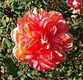 Rosa Souvenir de Gilbert Nabonnand 1.jpg