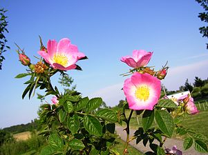 Rosa rubiginosa mit einigen Knospen.jpg