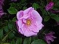 Rosa rugosa Adam Chodun 2016-05-31 2223.jpg