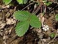 Rosaceae - Potentilla micrantha.JPG