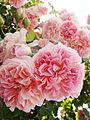 Rose, バラ, (9733258006).jpg