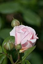 Rose, Masako(Eglantyne) - Flickr - nekonomania.jpg