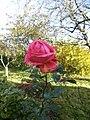 Rose d'automne - panoramio.jpg