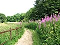 Rosebay willowherb on the Wherryman's Way - geograph.org.uk - 1387368.jpg