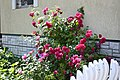 Rosebush - panoramio (3255).jpg