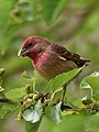 Rosefinch Mulberry IITMandi Apr20 D72 14643.jpg