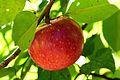 Rote Sternrenette, eine alte Apfelsorte.jpg