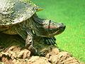 Rotwangen-Schmuckschildkröte.JPG