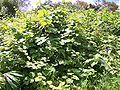 Rubus alceifolius bramble.JPG