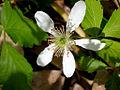 Rubus pubescens flower.jpg