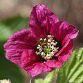 Rubus vernus (flower s3).jpg