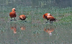 English: Ruddy Shelduck (Tadorna ferruginea) a...