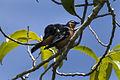 Rufous-bellied Triller - Sulawesi MG 3360 (16820728807).jpg