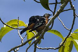 Rufous-bellied Triller - Sulawesi MG 3360 (16820728807).jpg