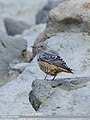 Rufous-tailed Rock-thrush (Monticola saxitilis) (48088918723).jpg