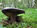 Russula nigricans (29445500303).jpg