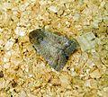 Rustic. Hoplodrina blanda - Flickr - gailhampshire (2).jpg