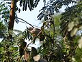 Rusty tailed flycatcher.jpg