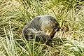 SGI-2016-South Georgia (Prion Island)–Antarctic fur seal (Arctocephalus gazella) 01.jpg