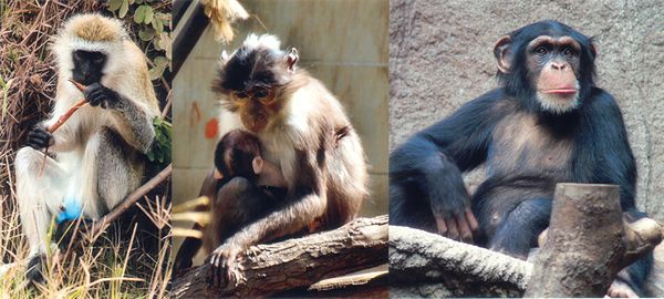 Left to right: the African green monkey source of SIV, the sooty mangabey source of HIV-2 and the chimpanzee source of HIV-1 SIV primates.jpg