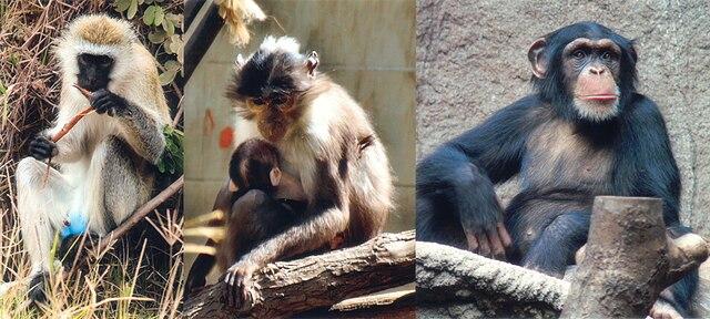 http://upload.wikimedia.org/wikipedia/commons/thumb/9/93/SIV_primates.jpg/640px-SIV_primates.jpg
