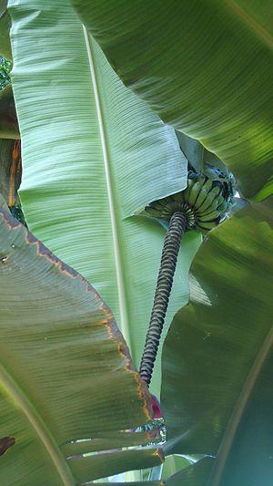 Saba banana - Saba bananas and inflorescence.