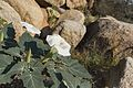 Sacred Datura (Datura wrightii) (20119909123).jpg