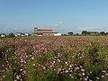 Saga Airport Cosmos flower garden 2016.jpg
