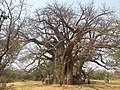Sagole Baobab.jpg