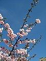 Saint Petersburg. Chinese Garden. Sakura tree2014 03.jpg