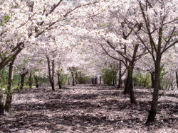 Allée de cerisiers au Japon