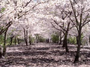 [صورة مرفقة: 300px-SakuraHealed.png]