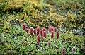Salix arctica 01(js), Myggbukta (Greenland).jpg
