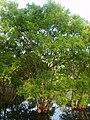 Salix chaenomeloides 01.JPG