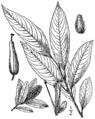 Salix serissima BB-1913.png