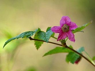 Rubus spectabilis - Image: Salmonberry Blossom
