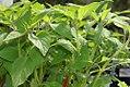 Salvia rutilans 0zz.jpg