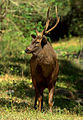 Sambar stag by N. A. Naseer.jpg