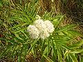 Sambucus nigra flori 02 bgiu.jpg