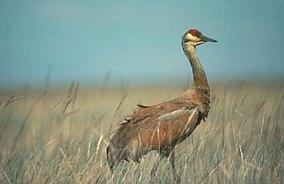 Sandhill crane (9151947909).jpg