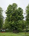 Sankt Georgen im Attergau 1000jährige Linde 2.jpg