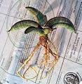 Sansevieria eilensis roots.jpg
