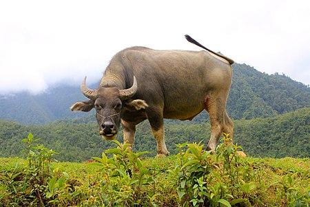 Giống vật nuôi Việt Nam