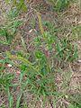 Sapium glandulosum (16676147271) (2).jpg